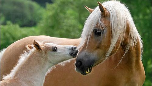 krossat linfrö till häst