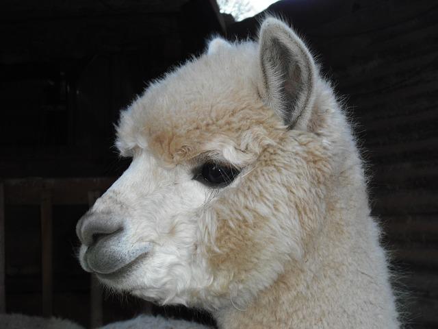 Till Alpacka fölen kan med fördel GAIN Foal Pellets (4mm pellets) till alpackaföl. Produkten är smaklig och innehåller bl a mjölkpulver. Det fodret beställer du från Tungelstaboden